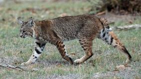 Calero_Creek_Trail_Bobcat